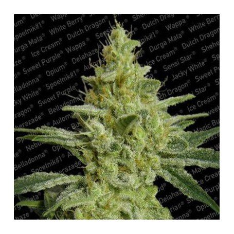 Allkush paradise seeds f minis es graine de cannabis for Graine cannabis femelle exterieur