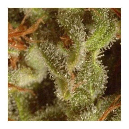 Collection pack Sativa champions