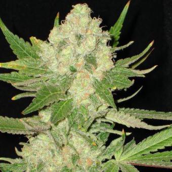 Widow CBD Seeds