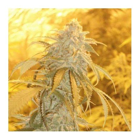 Orange Kush - This Cannabis strains is a curative strain that is definitely relaxing, especially when the consumer can accept the relaxation of mind and body...