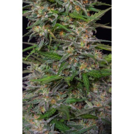 Cream Mandarine - Sweet Seeds