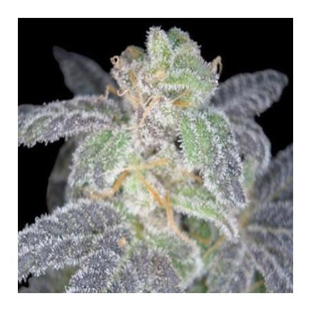Purple OG 18