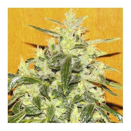 Tropical ice culture cannabis graine de cannabis femelle for Graine cannabis femelle exterieur