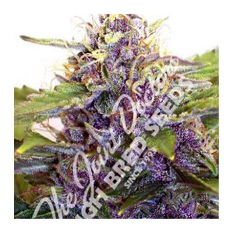 Purple Ryder Joint Doctor´s