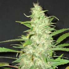 Auto Diesel Speed Seeds