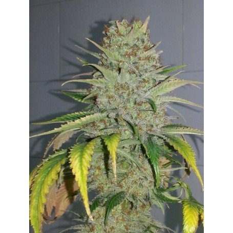 Black Domina x Bubblegum 2