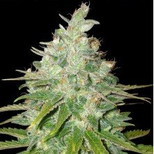 Black Domina x Black Domina Speed Seeds