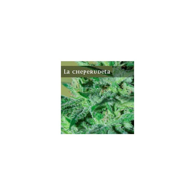 La cheperudeta elite seeds graine de cannabis femelle for Graine cannabis femelle exterieur