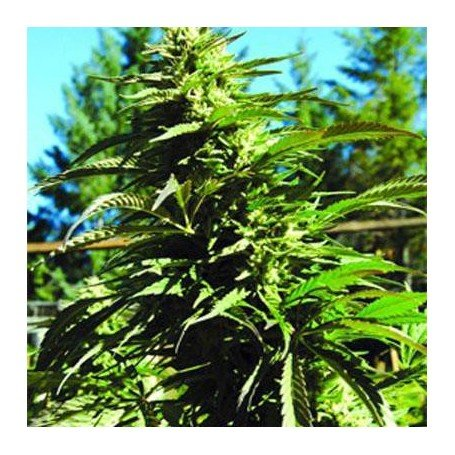 Blueberry Headband Emerald Triangle Seeds
