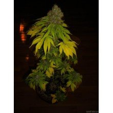 Lost Coast OG Emerald Triangle Seeds