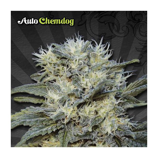 Chemdog Auto