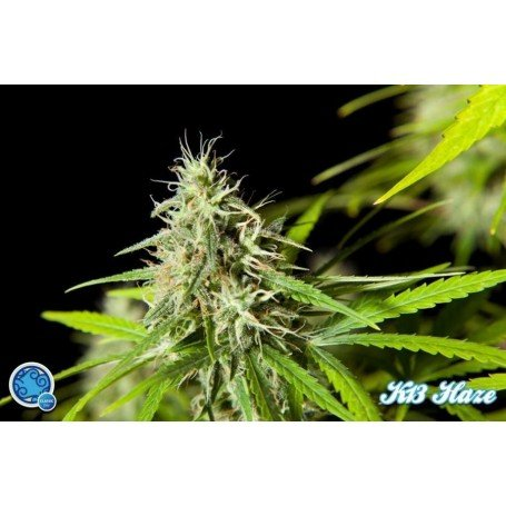 Easy Haze Philosopher Seeds 3