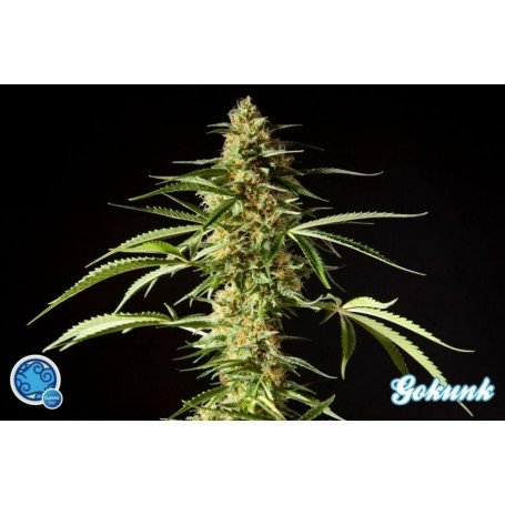 Philo Skunk / Gokunk 4