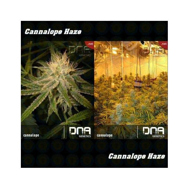 Cannalope Haze 1