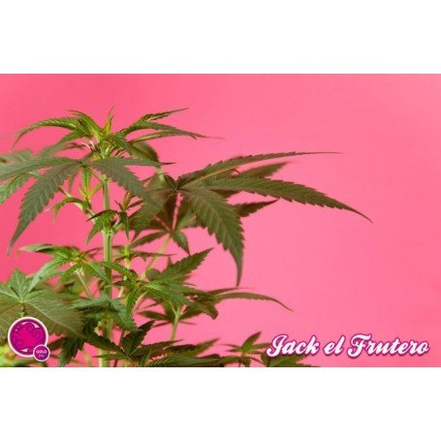 Fruity Jack / Jack el Frutero 2