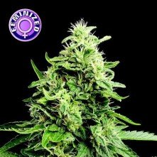 Amnesia Gold Kera Seeds