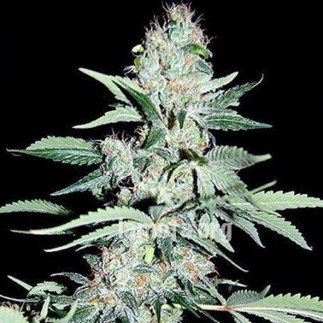 Power Plant Kera Seeds