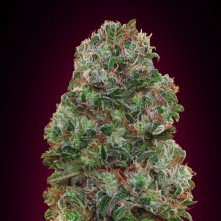 Bubble Gum 00 Seeds