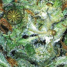 Big Bud Vision Seeds 1