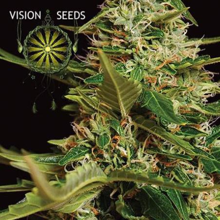 Super Skunk Auto Vision Seeds 1