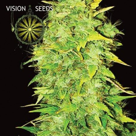 White Widow Auto Vision Seeds 1