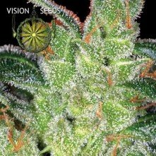 Cheese Vision Seeds 1