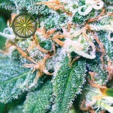 Super Skunk Vision Seeds