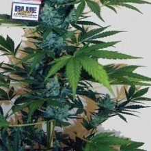 Blue Cheese Auto Big Buddha Seeds 1
