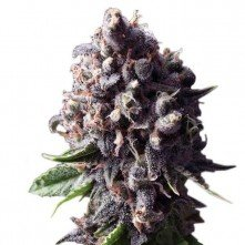 Auto Purple The Original Sensible Seeds