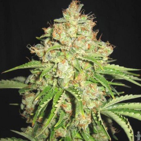 White Russian Auto Sagarmatha Seeds
