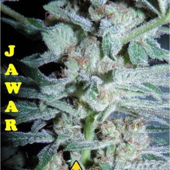 Jawar