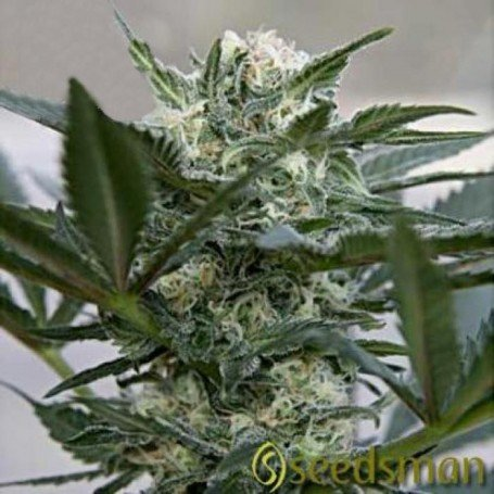 This marijuana plant phenotype Indico 100%...