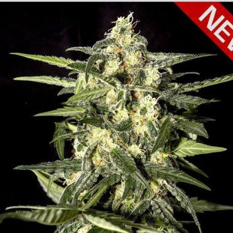 Jack Herer Auto Green House