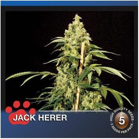 Jack Herer The Bulldog Seeds