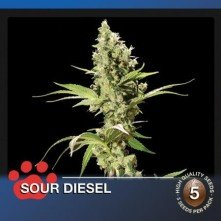 Sour Diesel The Bulldog Seeds