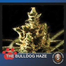 The Bulldog Haze