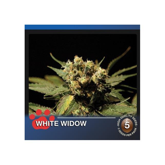 White Widow The Bulldog Seeds