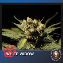 White Widow The Bulldog Seeds