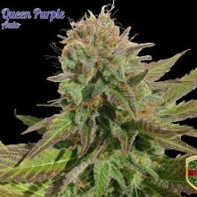 Queen Purple Auto