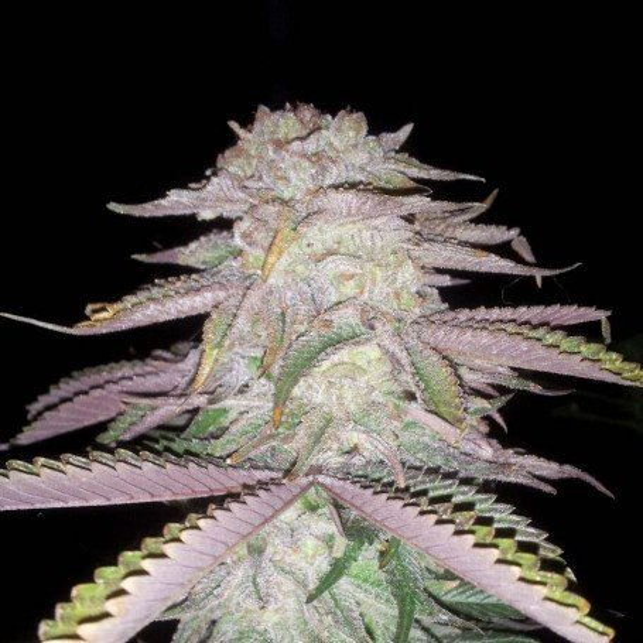 Sage N Sour TH Seeds Regular