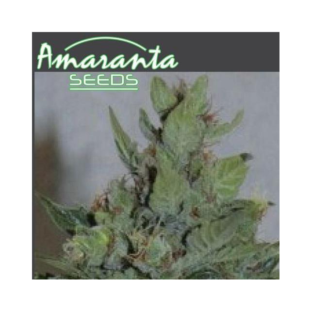 Amaranta Dwarf