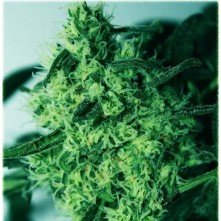 Critical Amaranta Seeds