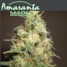 Easy Bud Amaranta Seeds