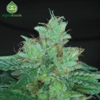 Las Vegas Purple Kush Bx