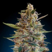 Collector Pack Auto 2 Advanced Seeds