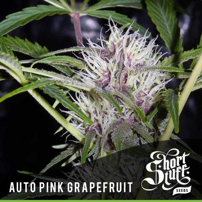 Auto Pink Grapefruit 1