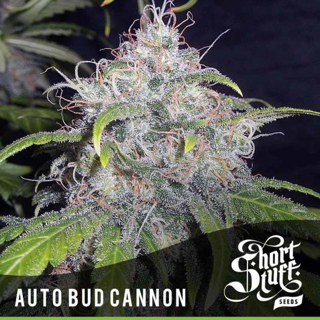 Auto Bud Cannon 1