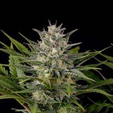Pineapple Skunk Humboldt Seeds Femelle