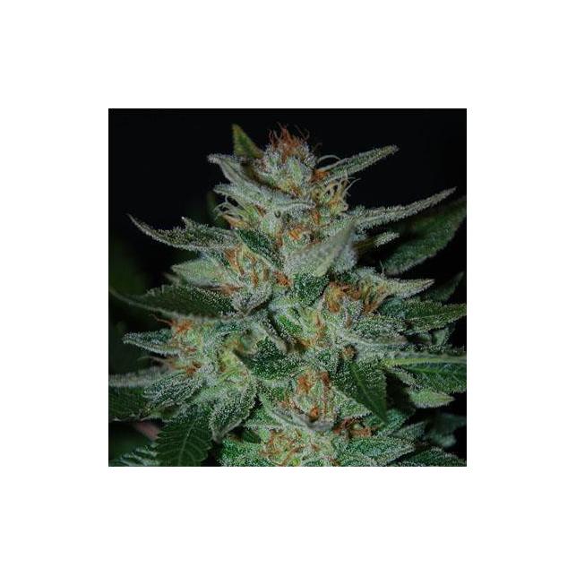 Blue Cheese Expert Seeds