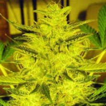 Caramella Auto Expert Seeds